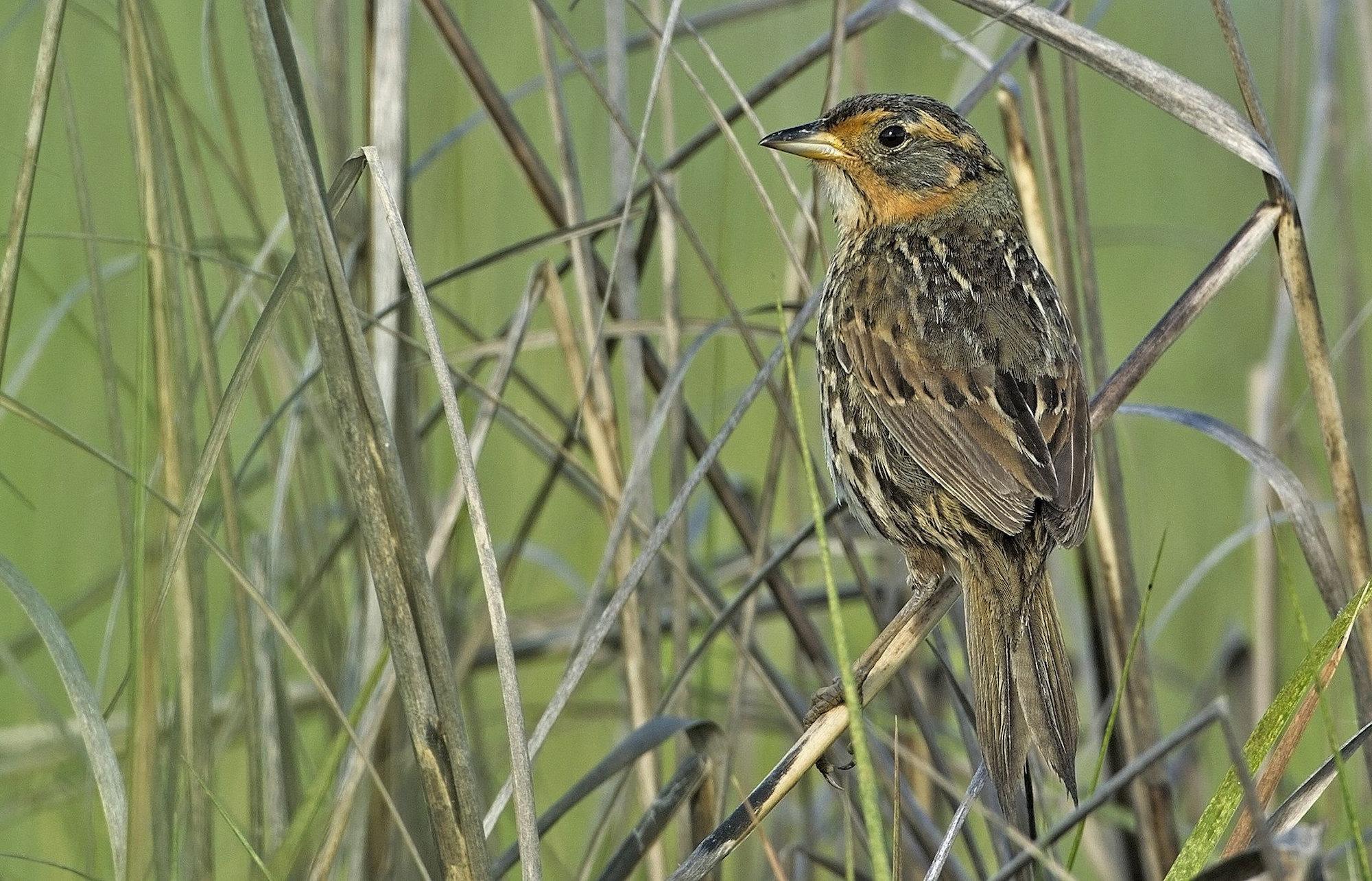 Saltmarsh Sparrow FWS