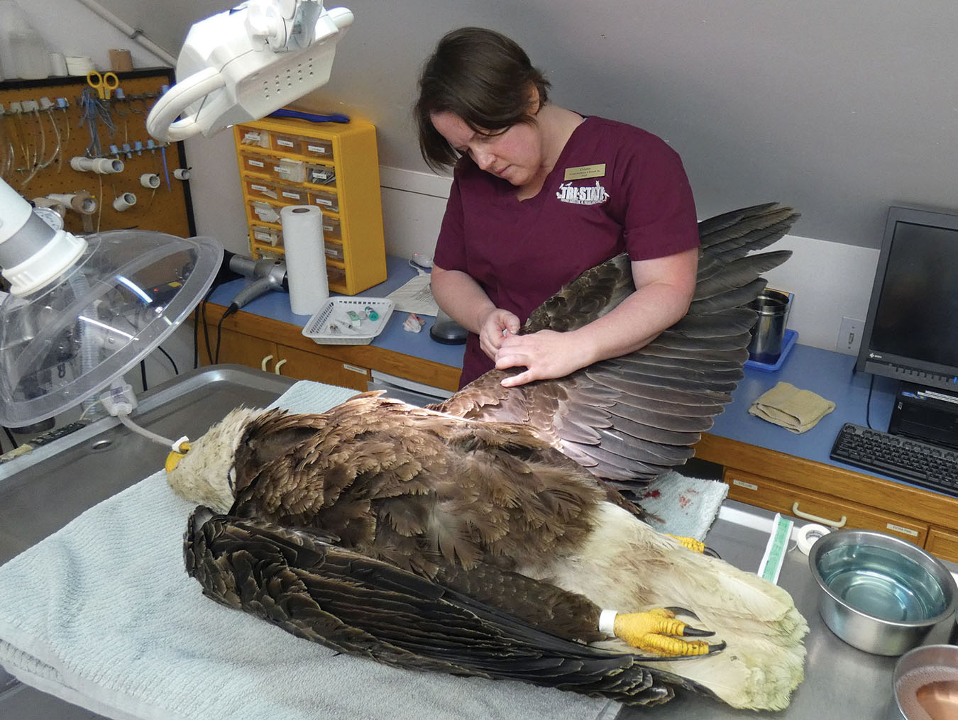 Wildlife veterinarian Cristin Kelley of Tri-State Bird Rescue & Research in Delaware sutured a Bald Eagle's injured wing while it was under anesthesia in May 2019. The bird had been found injured on a highway, and after it recovered, it was released. Photo by Tri-State Bird Rescue & Research