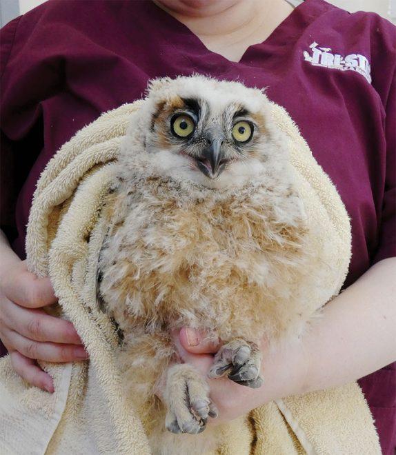 nestling Great Horned Owl
