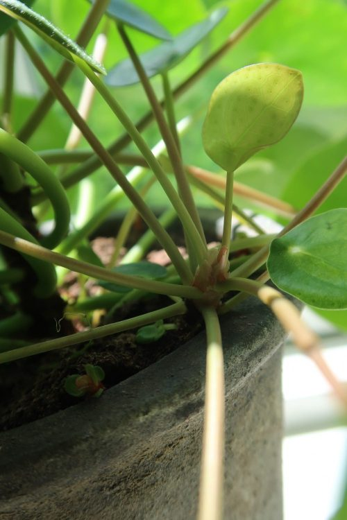 formere-plea-peperomioides