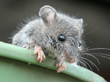 Most Common Types Of Rodents In Illinois | Quik-Kill Services IL