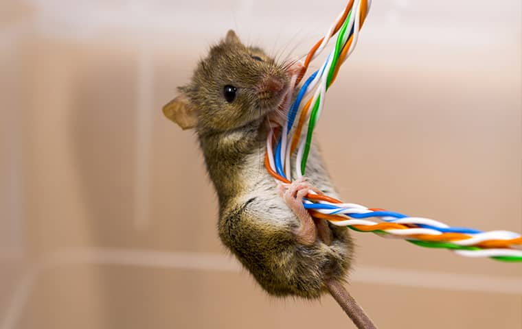 Rodents | A Guide To Rodent Control & Prevention In Maryland