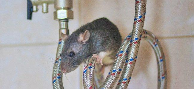 The Trick To Handling A Rat Infestation In Your D.C. Home