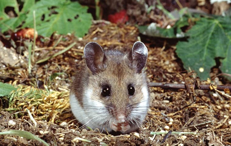 RAM Wildlife & Pest Management | A Guide To Mice In Vail, Colorado