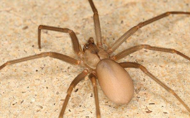 Difference between Wolf Spider and Brown Recluse, What Every Fairfax Homeowner Ought To Know About Brown Recluse Spiders