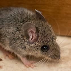 Common New England Rodents | Rodent Prevention Tips