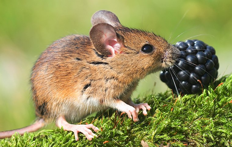 Field Mice Identification & Prevention | Connecticut Pest Elimination