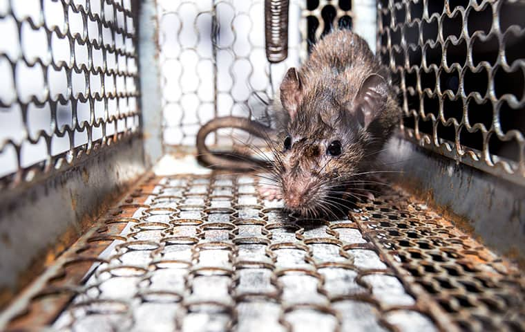 Rodent Control | Pest & Termite Consultants Offer Rodent Control ...