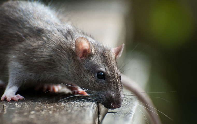 Pest & Termite Consultants | A Guide To Rodents In Tarboro, NC