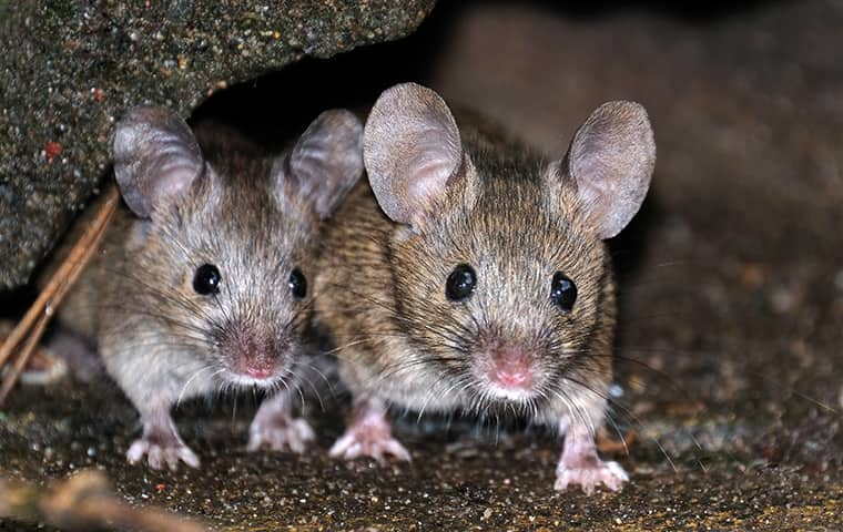 A Guide To Rodents In NC, Norfolk, Virginia Beach & Chesapeake, VA
