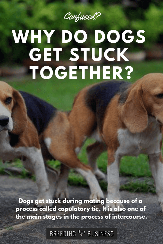 How To Separate Dogs After Mating : separate, after, mating, Stuck?, Explanation