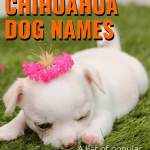 120 Chihuahua Dog Names Ideal Chihuahua Puppy Name Ideas