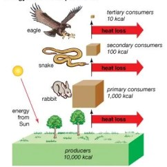 Temperate Forest Food Web Diagram Skyline R33 Gtst Wiring Trophic Level | Definition, Examples, & Facts Britannica.com