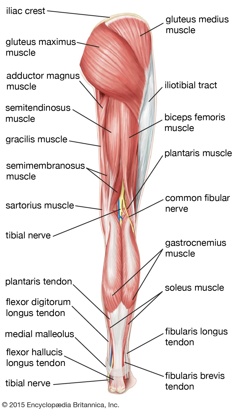 Lower Back And Leg Muscle Diagram : lower, muscle, diagram, Definition,, Bones,, Muscles,, Facts, Britannica