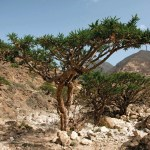 Frankincense Definition Uses Facts Britannica