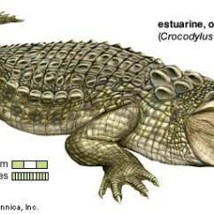 Turtle Anatomy Diagram Wiring For A Dual 4 Ohm Sub Crocodile | Habitat, Description, Teeth, & Facts Britannica.com