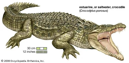 turtle anatomy diagram 1998 jeep tj wiring crocodile | habitat, description, teeth, & facts britannica.com