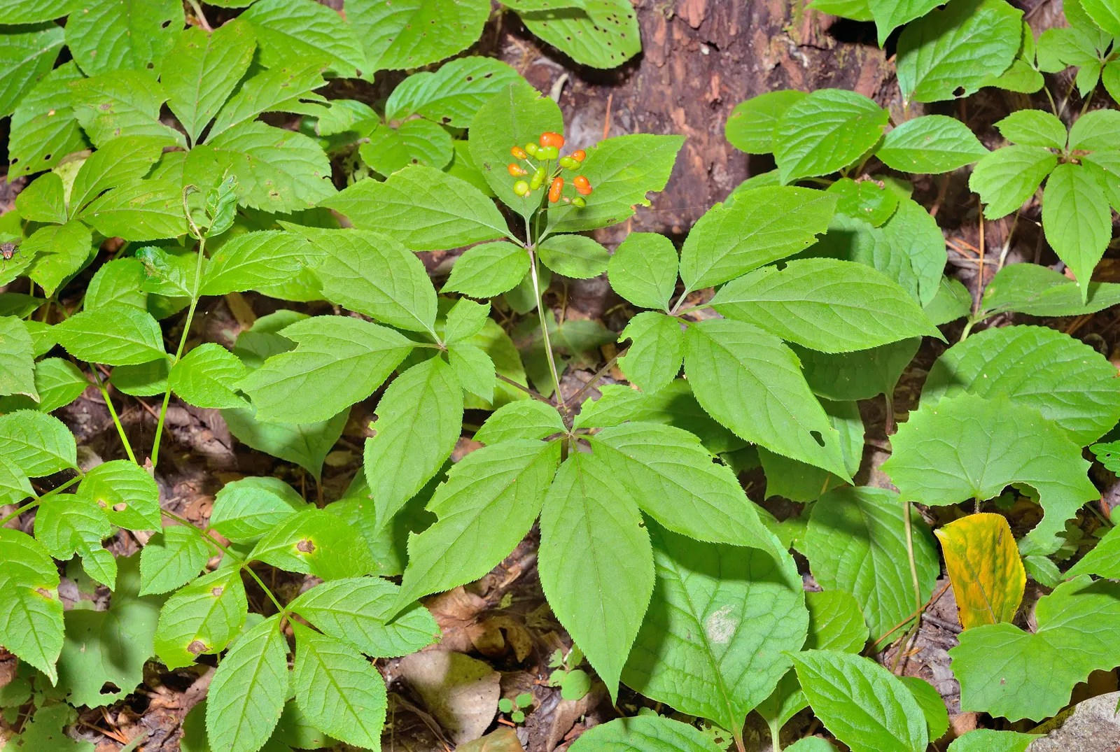 ginseng | Description Traditional Medicine & Species ...