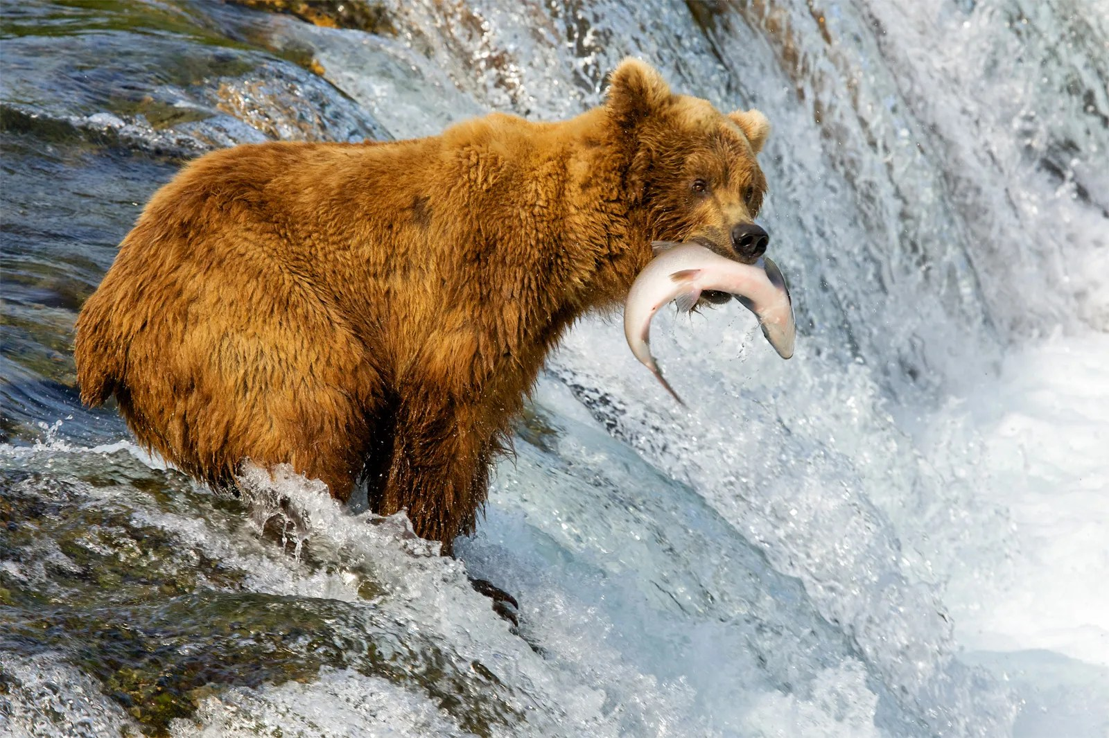 Af animals that live in lairs include bears, bobcats, cougars, wolves and tigers. North America The Boreal Forest Britannica