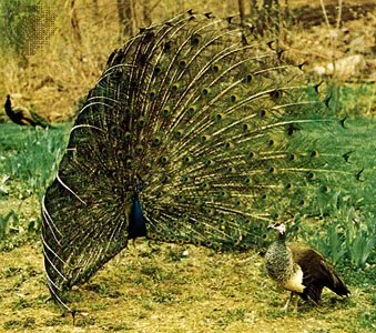 peacock facts habitat britannica