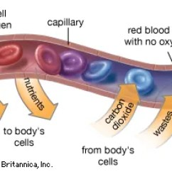 Carbohydrate Structure Diagram 2002 Ford F350 Fuse Box Capillary   Anatomy Britannica.com