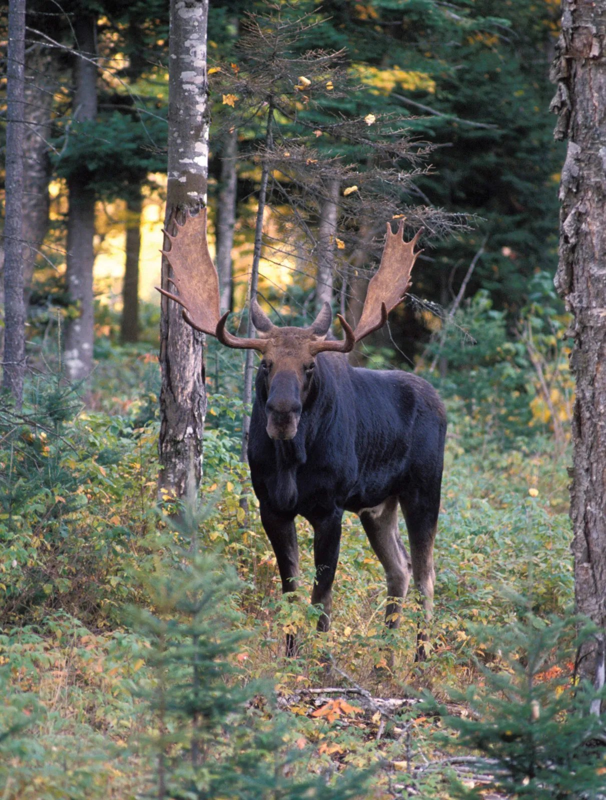 Biggest Moose Ever Recorded : biggest, moose, recorded, Moose, Habitat,, Size,, Weight,, Diet,, Antlers,, Facts, Britannica