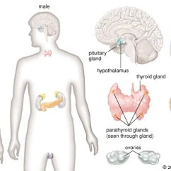 Endocrine System Diagram 2007 Jeep Grand Cherokee Wiring Human Description Function Glands Hormones Britannica Com