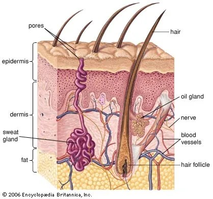 diagram types of feathers nissan pulsar wiring epidermis | anatomy britannica.com