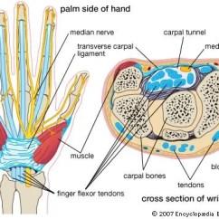 Radial Nerve Diagram 1996 Honda Civic Fuse Carpal Bone | Anatomy Britannica.com