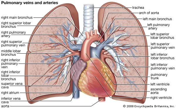 3 chambered heart diagram ixl tastic sensation wiring pulmonary circulation | physiology britannica.com