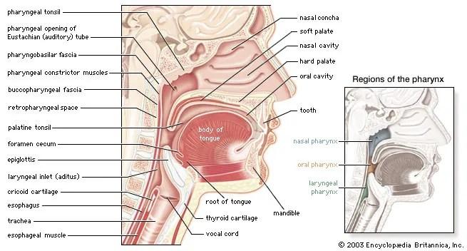 diagram of the nose and its functions deutz generator wiring pharynx anatomy britannica com