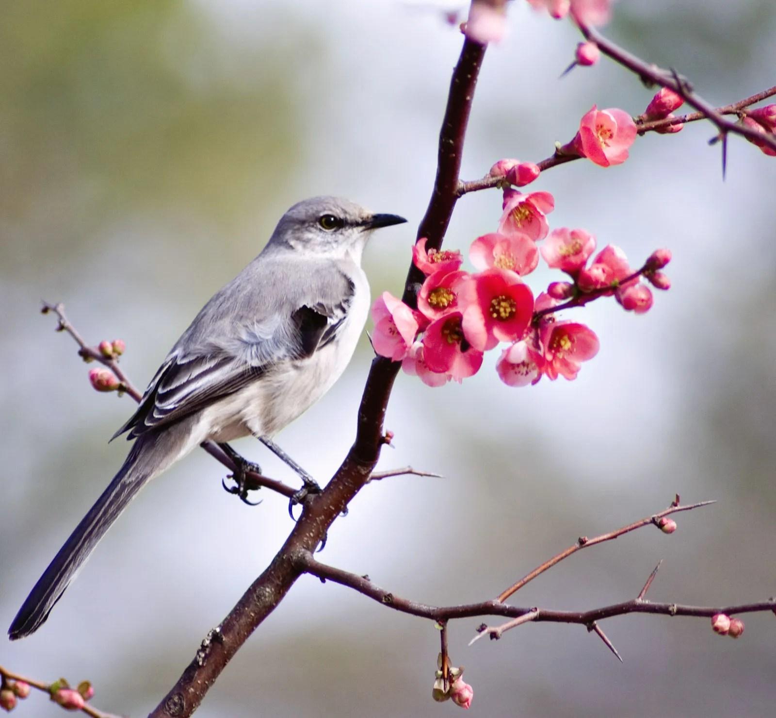 Common Mockingbird