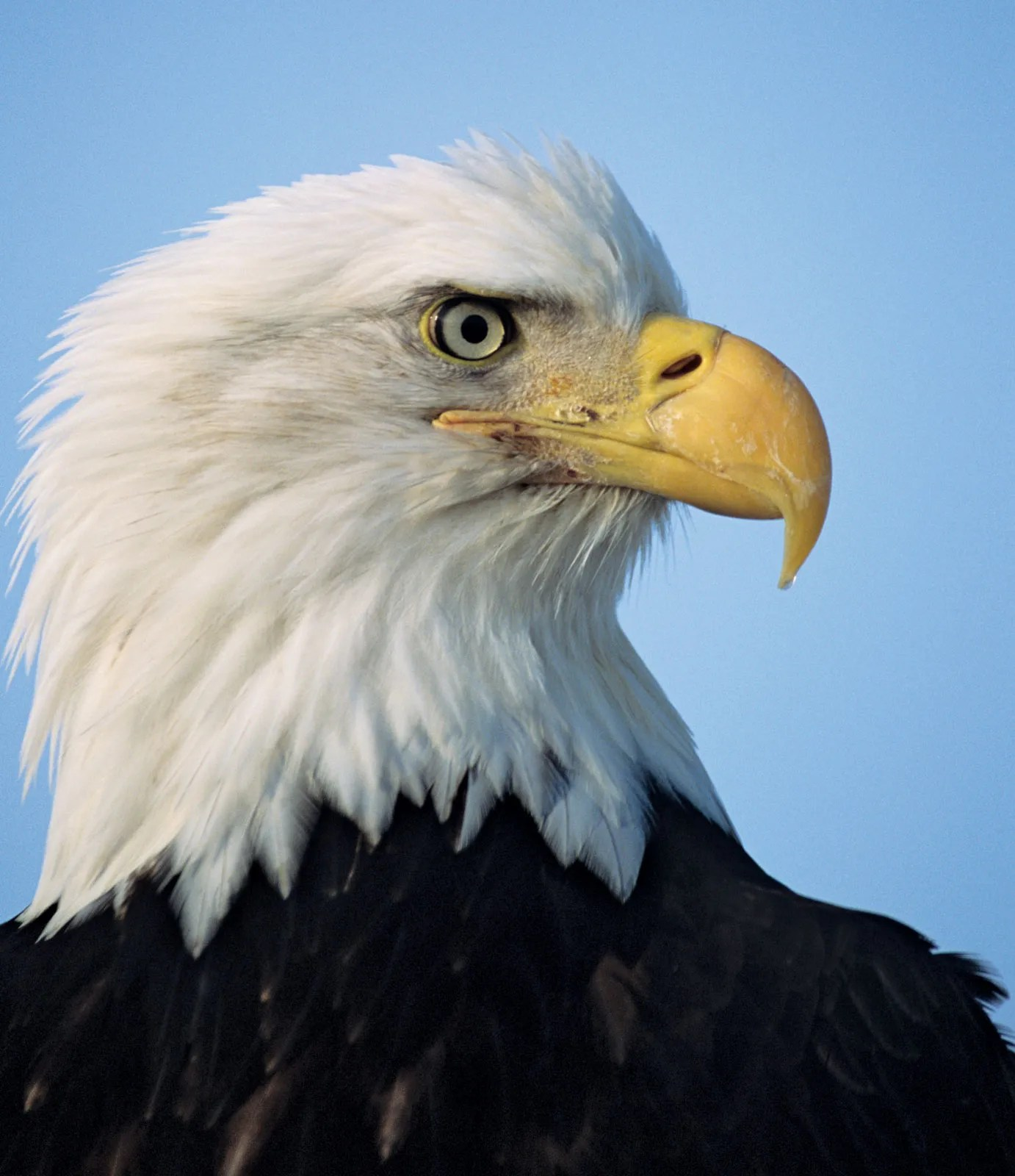 Bald Eagle Structural Adaptations