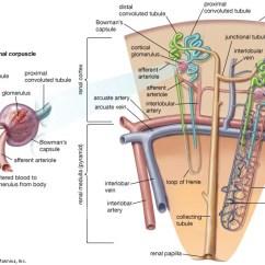 Microscope Diagram Unlabeled 96 Civic Ignition Switch Wiring Nephron | Anatomy Britannica.com