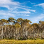 Eucalyptus Description Major Species Uses Britannica