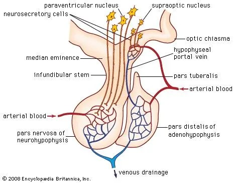 human brain diagram limbic system right hand palm reading pituitary gland | definition, anatomy, hormones, & disorders britannica.com