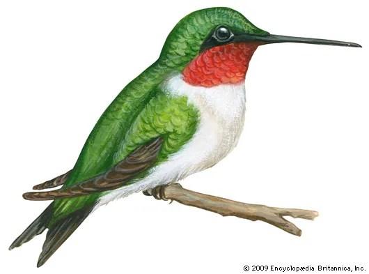 hummingbird bird