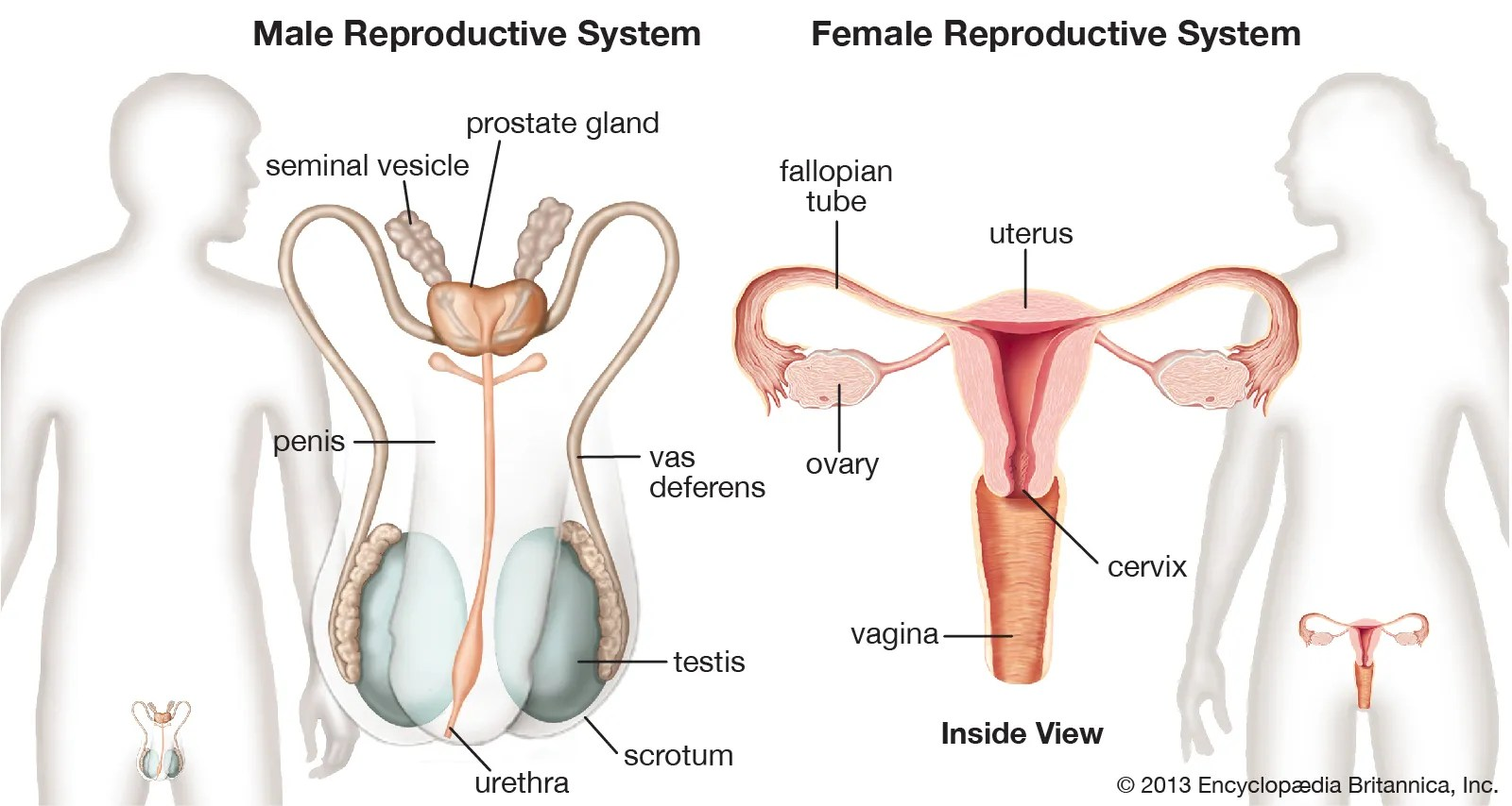 Female Reproductive System Worksheet Answers