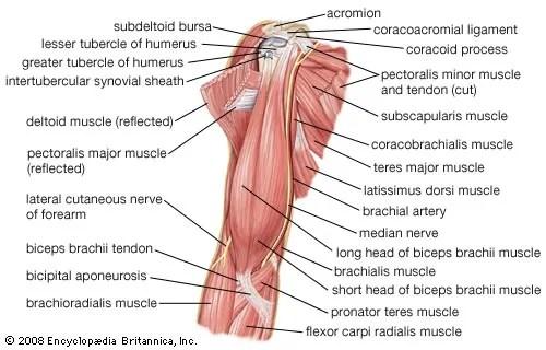 forearm bones diagram 2016 ford focus stereo wiring arm vertebrate anatomy britannica com