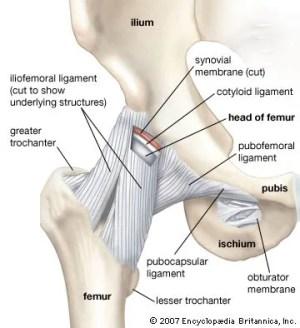 Hip | anatomy | Britannica