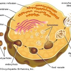 Lysosome Cell Diagram Murray Lawn Tractor Parts | Biology Britannica.com