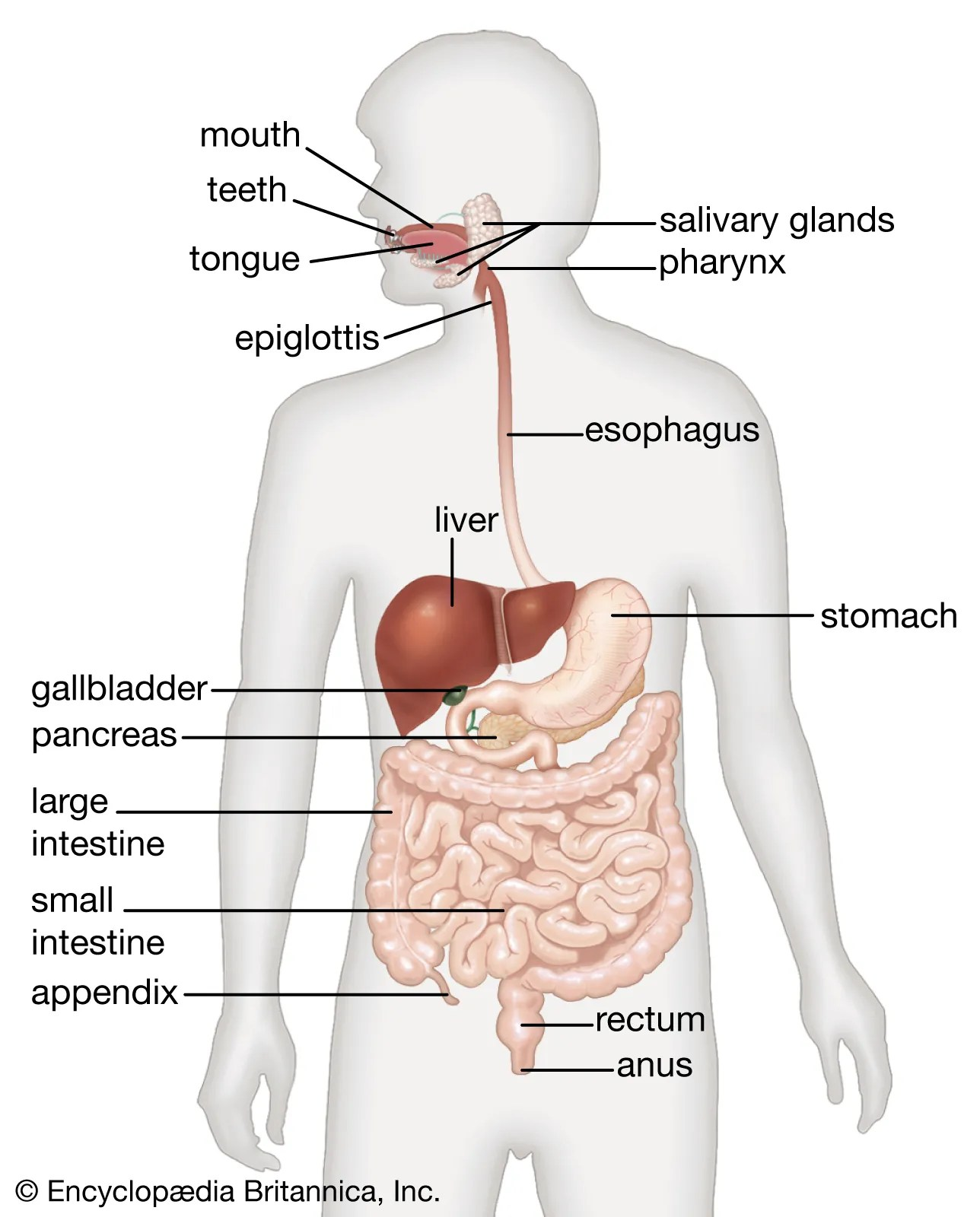Picture Of Digestive System With Labels : picture, digestive, system, labels, Human, Digestive, System, Description,, Parts,, Functions, Britannica