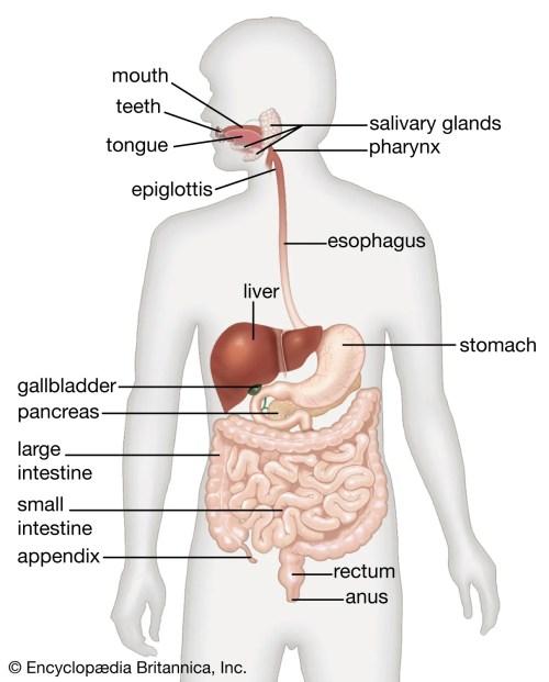 small resolution of human digestive system   Description