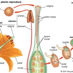 Plant Stem Diagram Worksheet Triple Venn Maker Reproductive System | Britannica.com