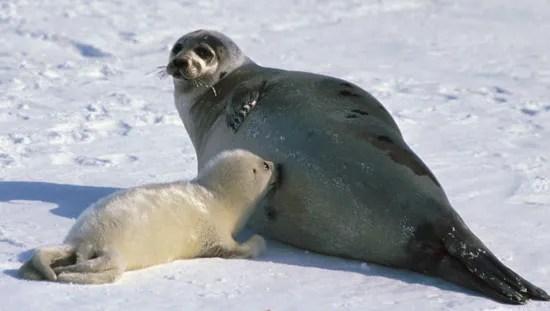 harp seal mammal britannica
