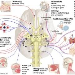 External Fetal Pig Muscle Diagram 2005 F150 Ac Wiring Cranial Nerve | Definition & Function Britannica.com