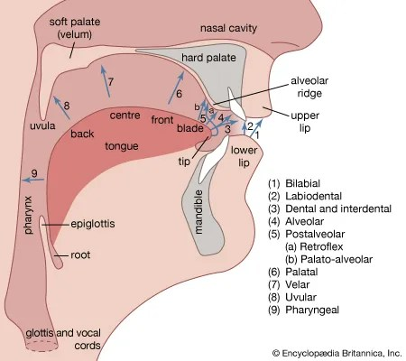 diagram of the tongue with labels freightliner fld wiring diagrams phonetics | linguistics britannica.com