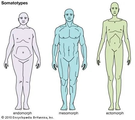 Mesomorph Physique Classification Britannica Com
