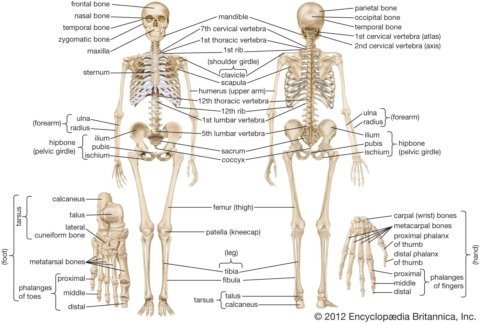 hight resolution of human skeleton   Parts