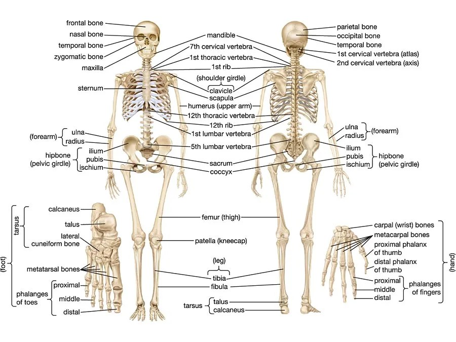 skeleton diagram labeled switch light wiring human skeletal system parts functions facts britannica com